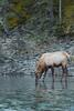Roosevelt Elk drinking from river