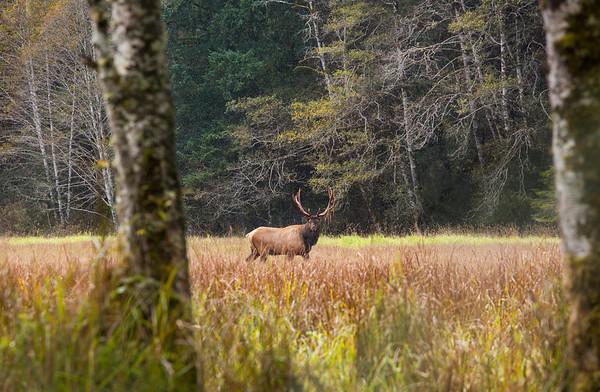 Roosevelt Bull Elk in the wilderness.