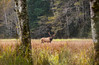 Roosevelt Bull Elk in the wilderness.