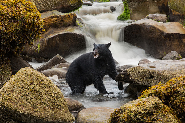 Black bear and waterfall.