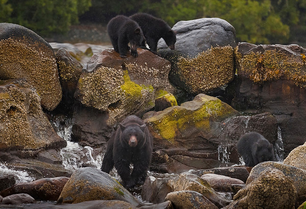 A mother Black Bear stares down the photographer and his brother across the river while her three cubs look for the catch of the day.