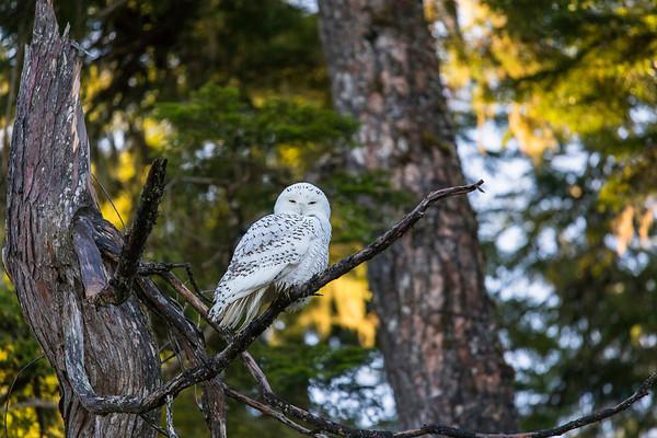 Snowy Owl on Vancouver Island