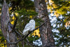 Snowy Owl on Vancouver Island