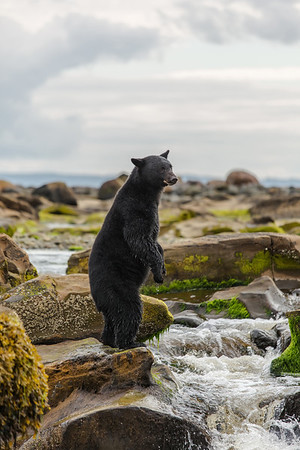Black Bear on hind legs along river.