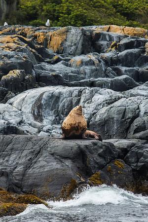 Stellar Sea lion.