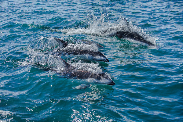 Pacific White sided dolphins in Queen Charlotte Strait.