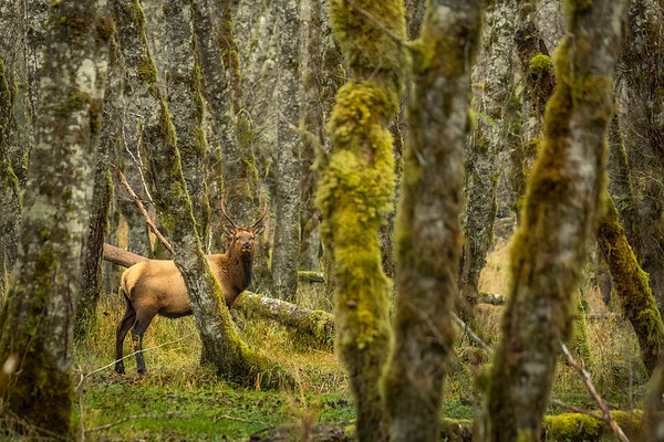 Roosevelt Elk, a young bull in the forests on Vancouver Island.