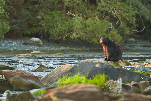 A Black Bear enjoys the morning sunrise along the river.