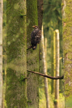 Immature bald eagle in a forest