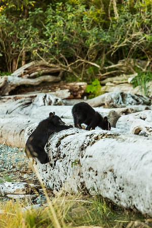 Very Small Black Bear cubs straining to get over log.