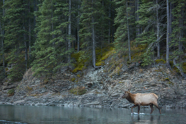 Roosevelt Bull Elk crossing a river.