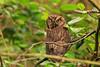 Northern Screech Owl