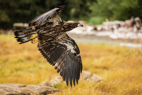 Low flying immature bald eagle.