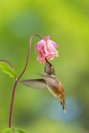 Female Rufous Hummingbird and Columbine flower.