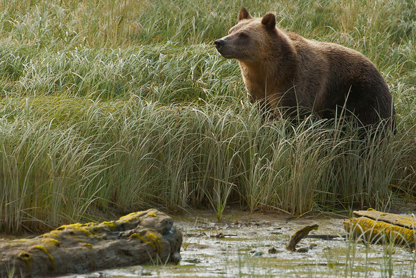 Grizzly Bear- Knight Inlet, BC
