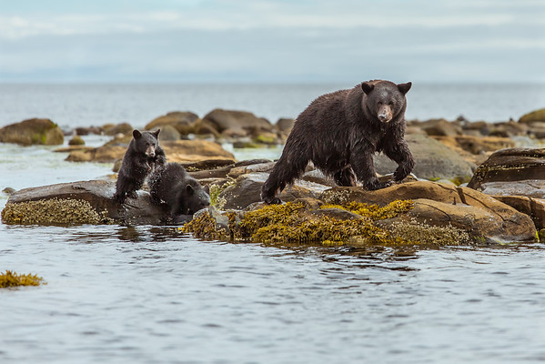 Mother Black bear and cubs strolling the beach.