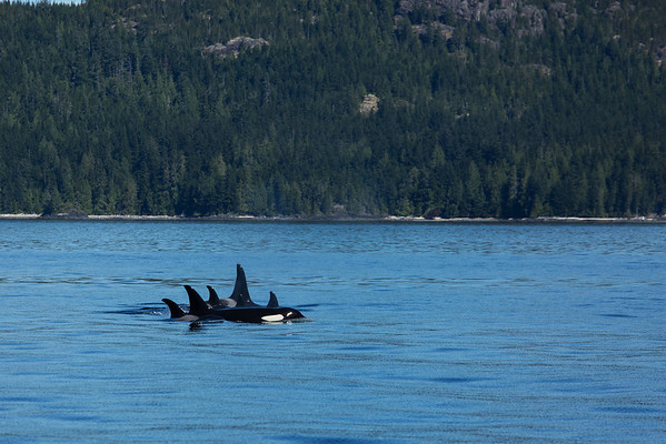 Orcas in Queen Charlotte Strait.