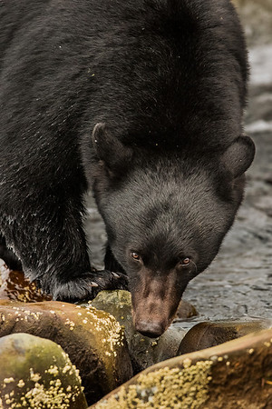 Black Bear assessing the photographer.