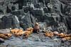 Stellar Sea lions.