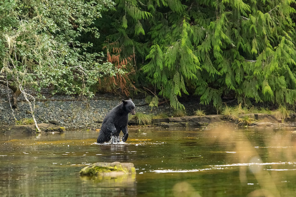 Black bear playing in river.