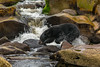 Black Bear fishing for spawning salmon.