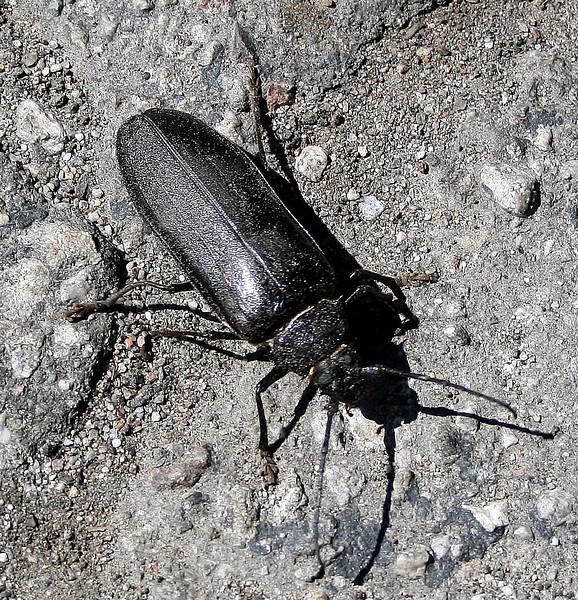 Ponderous borer (<i>Ergates spiculatus</i>), Idyllwild, 21 Jun 2009