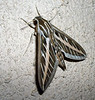 White-lined Sphinx Moth (Hyles lineata), 13 May 2004