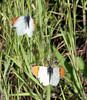 Sara Orangetip (Anthocharis sara), male, Lakeview Mountains, 14 Mar 2009