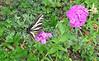 Pale Swallowtail (Papilio eurymedon) on sweet williams (Dianthus barbatus), Fern Valley Inn, Fern Valley, CA 24 Jun 2006