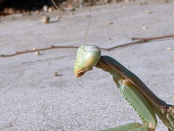 Mediterranean Mantis (Iris oratoria), female, 25 Nov 2003