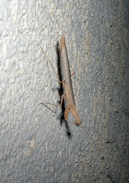 California Mantis (Stagmomantis californica), juvenile, 13 May 2004