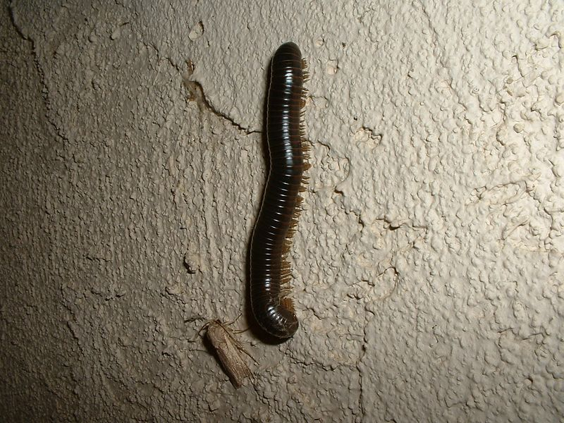 """Millipede (probably Hiltonius pulchrus) and moth on our entryway wall -- 5 Jan 2003.  These millipedes are very common around here during the Winter and Spring.  they can get up to 5"""" long, and are nocturnal.  If disturbed, they exude a yellow, foul-smelling fluid that leaves a purple stain."""