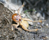 Jerusalem Cricket (Stenopelmatus fuscus), defensive posture, Lakeview Mountains, 10 Feb 2008