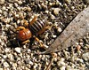 Jerusalem Cricket, Stenopelmatus fuscus, Lakeview Mountains, 23 Jan 2005
