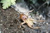 Jerusalem Cricket (Stenopelmatus fuscus), defensive posture. Lakeview Mountains, 10 Feb 2008