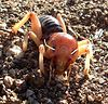 Jerusalem Cricket (Stenopelmatus fuscus), 8 Feb 2004