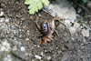 Jerusalem Cricket (Stenopelmatus fuscus), burrowing. Lakeview Mountains, 10 Feb 2008