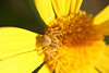Goldenrod crab spider (<i>Misumena vatia</i>), on Euryops, 23 Dec 2008