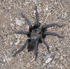 California Ebony Tarantula (Aphonopelma eutylenum), Lakeview Mountains, 5 Sep 2005