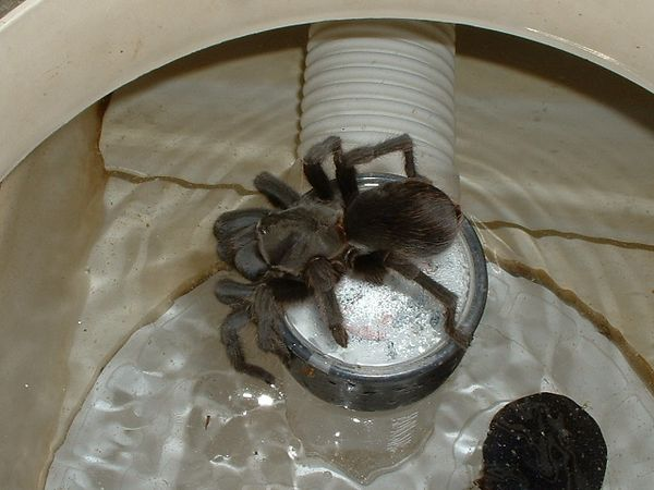 Aphonopelma steindachneri in pool skimmer, prior to rescue