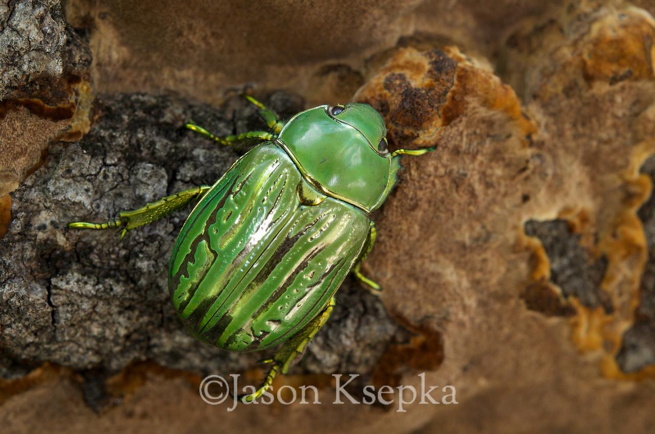 Chrysina gloriosa; Cochise County, Arizona 8-7-08 18