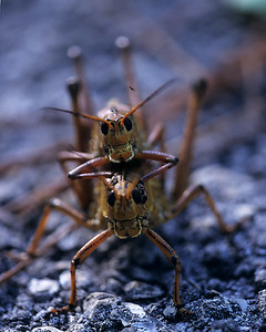 Lubber grasshoppers making more in Corkscrew swamp, Florida