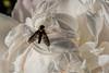 Big eyes; tiny antennae - Golden-backed snipe fly