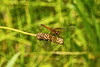 Red Meadowhawk Dragonfly (Sympetrum)- Waterloo Recreation Area, Michigan
