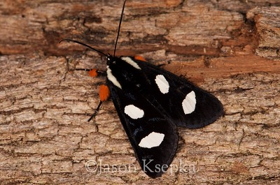 Alypia octomaculata, Eight-spotted Forester host-Parthenocissus quinquefolia, Virginia Creeper; Mercer County, New Jersey 2016-04-18   11
