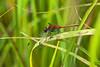 Red Meadowhawk Dragonfly (Sympetrum) - Nichols Arboretum, Ann Arbor, Michigan