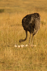 Female Ostrich Counting Her Chickens Before They Hatch