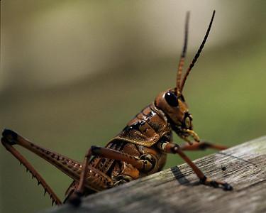 Lubber grasshopper on board, Corkscrew nature sanctuary in Florida
