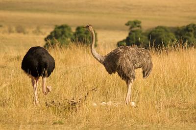 Ostrich pair guards eggs