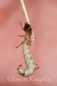 Apterodela unipunctata, One Spotted Tiger Beetle, larva; Atlantic County, New Jersey 2015-05-24   10